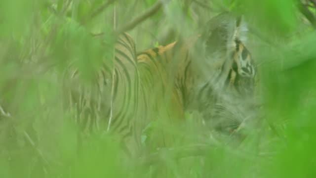 vídeos de stock e filmes b-roll de tiger cub - gema semipreciosa