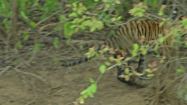 tiger cub - wildlife tracking tag stock videos and b-roll footage