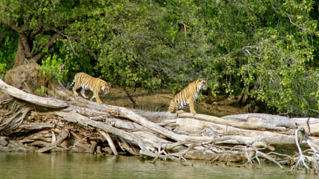 tiger cub walking towards mother - lakeshore stock videos & royalty-free footage