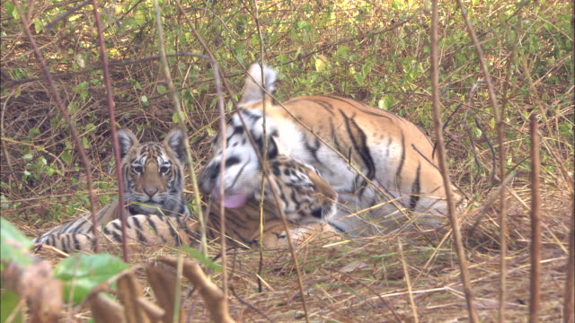 tiger cubs and mother, pench, india. available in hd. - raubtier stock-videos und b-roll-filmmaterial