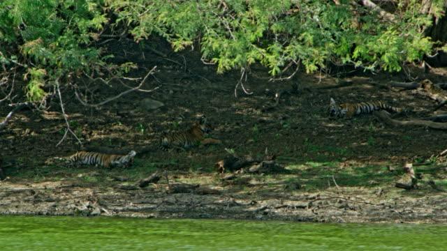 vídeos de stock, filmes e b-roll de tiger cubs - fotografia de alta velocidade