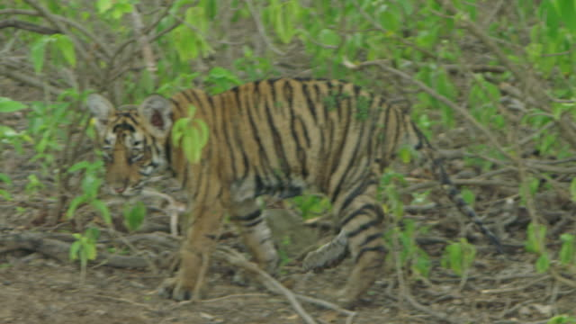 tiger cubs - wildlife tracking tag stock videos and b-roll footage