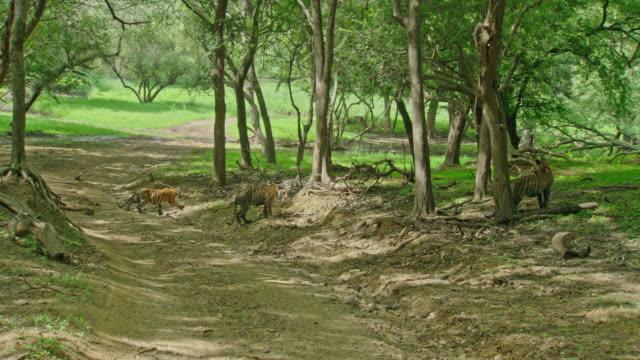 stockvideo's en b-roll-footage met tiger cubs - vachtpatroon