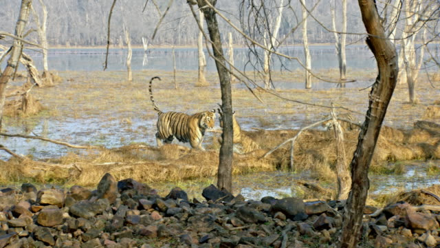 stockvideo's en b-roll-footage met tiger cubs with mother in wetland - playing, leaping, chasing, having fun - vier dieren