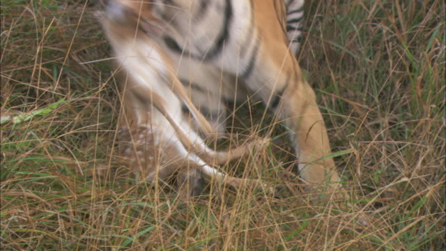 vídeos y material grabado en eventos de stock de a tiger drags a dead axis deer fawn through forest brush. - cervato