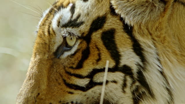 tiger face closeup - animal eye stock videos & royalty-free footage