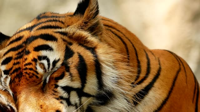 tiger face close-up - animal head stock videos & royalty-free footage