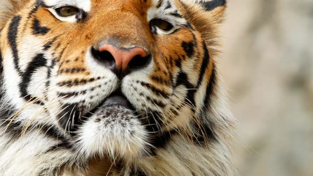 tiger face close-up - tiger stock videos & royalty-free footage