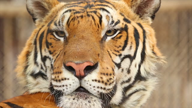 tiger face. - animal head stock videos & royalty-free footage