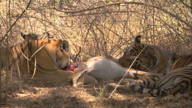 a tiger family feeds on an axis deer kill in pench, india. - deer family stock videos and b-roll footage