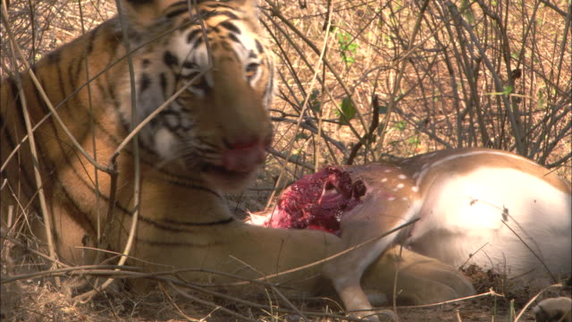 A tiger feeds on an Axis deer kill in Pench, India.