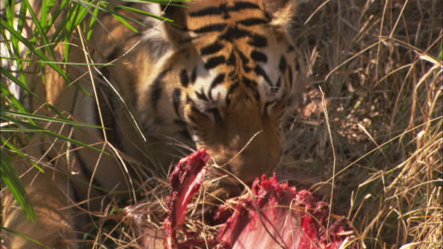 a tiger feeds on an axis deer kill in pench, india. - tiger stock videos & royalty-free footage