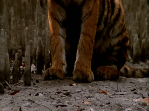 CU Tiger feet, sitting then walking through mangrove roots, India