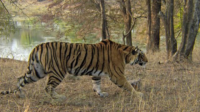vídeos y material grabado en eventos de stock de tiger gets up and walking slowly through grass field - tigre
