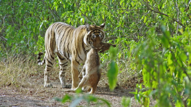 tiger got the spotted deer - endangered species stock videos & royalty-free footage