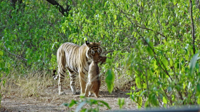 tiger got the spotted deer - killing stock videos & royalty-free footage