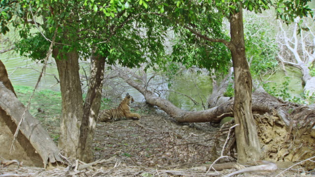 tiger grooming near water edge - lakeshore stock videos & royalty-free footage