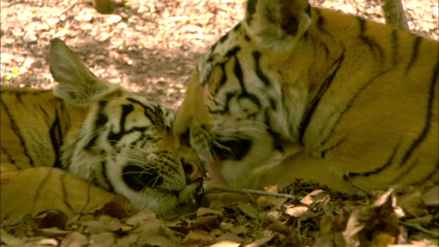 A tiger grooms its sibling as they lie on the ground.
