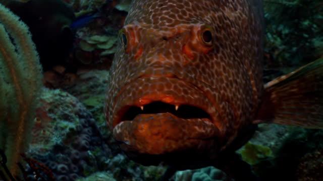 tiger grouper mycteroperca tigris - animal teeth stock videos & royalty-free footage