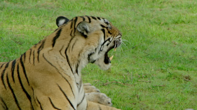tiger growling at grassland - anger stock videos & royalty-free footage