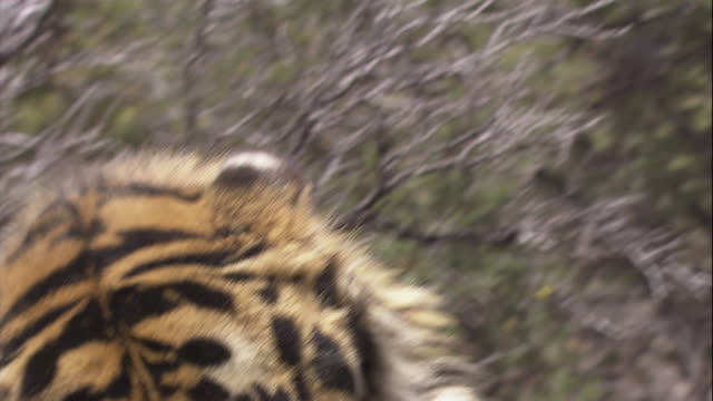 a tiger growls. - aggression stock videos & royalty-free footage