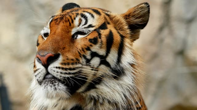 tiger head close-up - animals in the wild stock videos & royalty-free footage