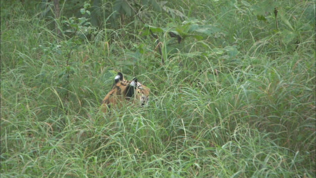 a tiger hides in the grass, pench national park, india. - squiggle stock videos & royalty-free footage