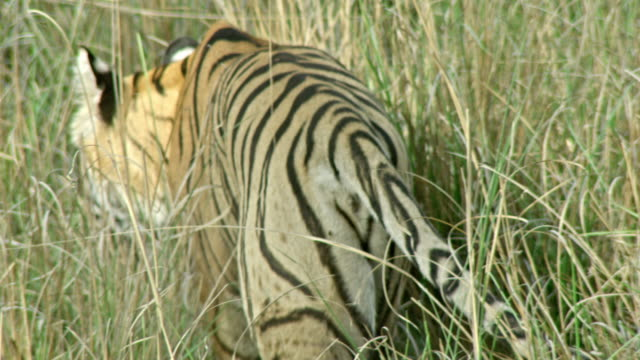 tiger hiding in grass field - tail stock videos & royalty-free footage