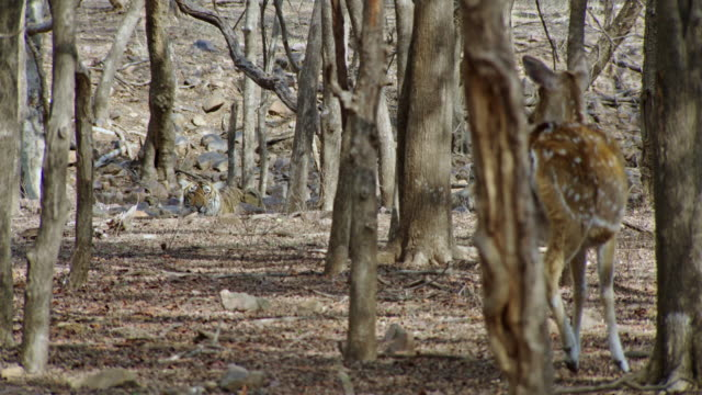 tiger hunting spotted deer at wooded area - fawn stock videos & royalty-free footage