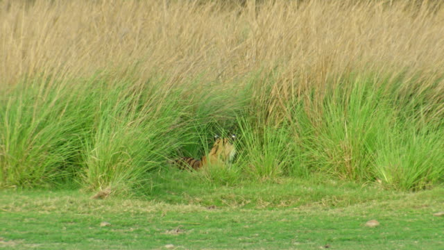 tiger in grassland - hiding stock videos & royalty-free footage