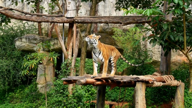 tiger jump - tiger stock videos & royalty-free footage