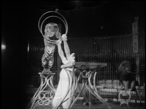b/w 1955 tiger jumping thru two hoops being held by man in circus - only men stock videos & royalty-free footage