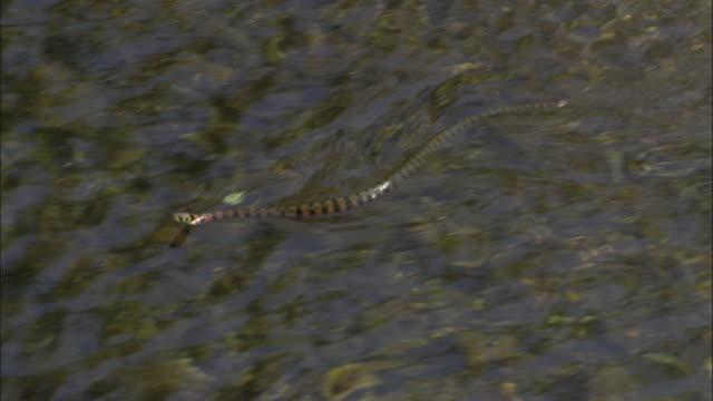 tiger keelback snake (rhabdophis tigrinus) swims in stream, russia - animal markings stock videos & royalty-free footage