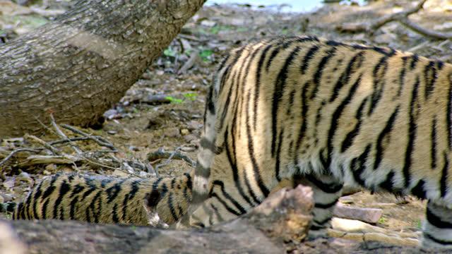 stockvideo's en b-roll-footage met tiger leaving from sibling in lake area - opeenvolgende serie