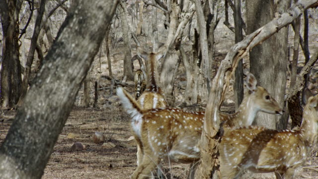 tiger leaving from spotted deer - fawn stock videos & royalty-free footage