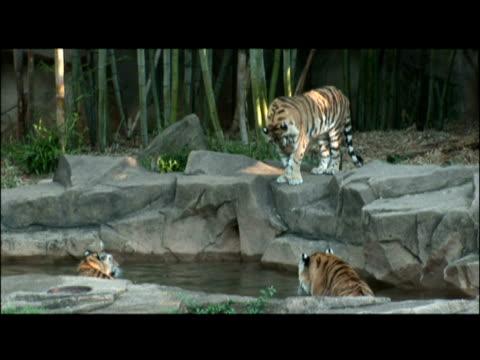 vídeos y material grabado en eventos de stock de a tiger lies down on a ledge above two tigers in a shallow pool. - animales en cautiverio