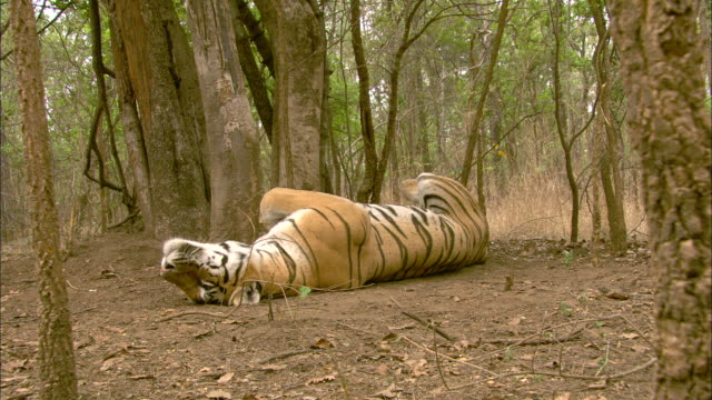 A tiger lies on its back in a forest in Pench, India.