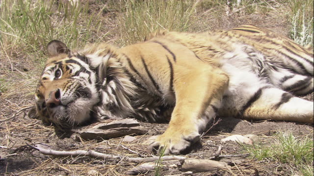 A tiger lies on the ground.
