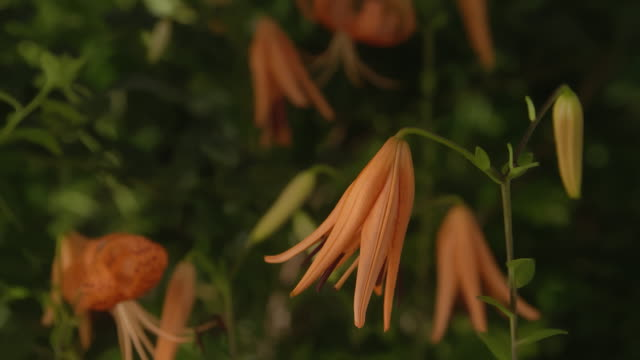 tiger lily blooming / ilsan, goyang-si, gyeonggi-do, korea - tiger lily stock videos & royalty-free footage