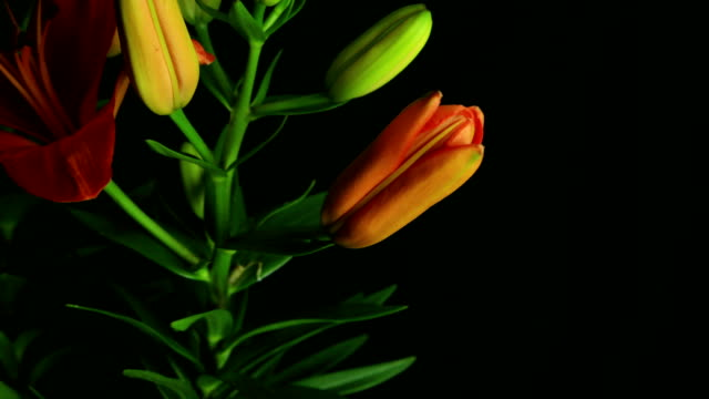 Tiger Lily Flower blooming time lapse
