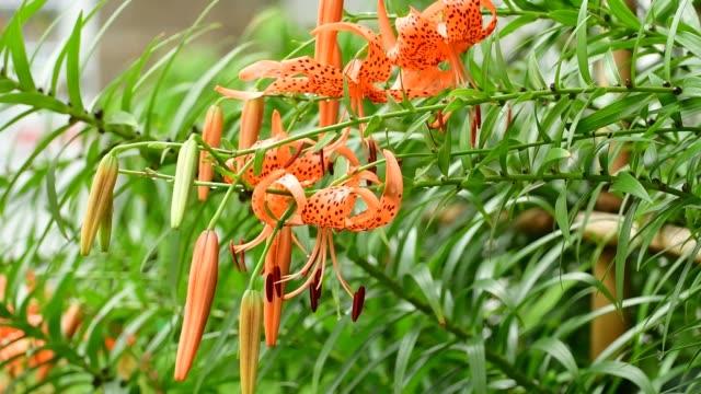 tiger lily / lilium lancifolium / lilium tigrinum flower - オニユリ点の映像素材/bロール