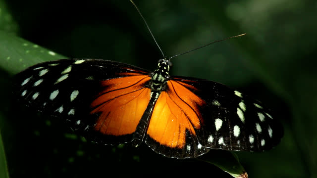 tiger longwing butterfly - farfalla video stock e b–roll