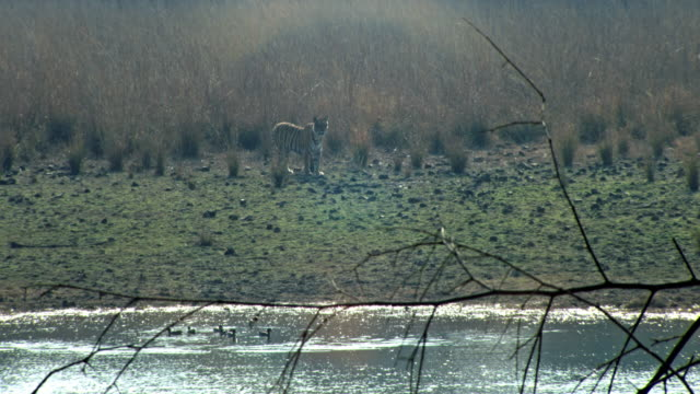 tiger looking alert at grassland - national grassland stock videos & royalty-free footage