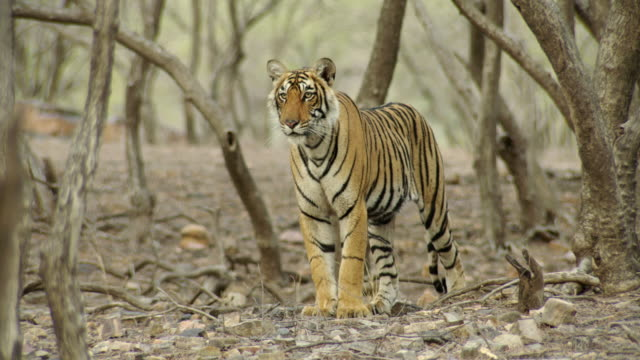 tiger looking alert - nature reserve stock videos & royalty-free footage