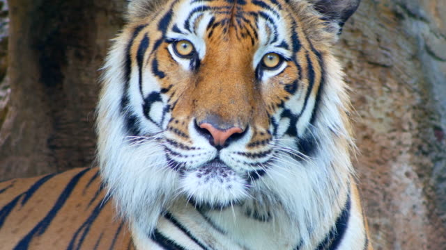 tiger looking at camera close-up - animal head stock videos & royalty-free footage