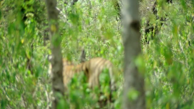 vídeos y material grabado en eventos de stock de tiger looking at sambar deer - animales acechando