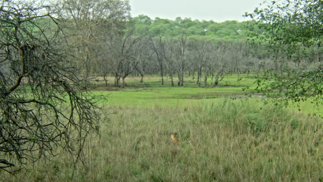 tiger looking through grass bushes - thorn stock videos & royalty-free footage