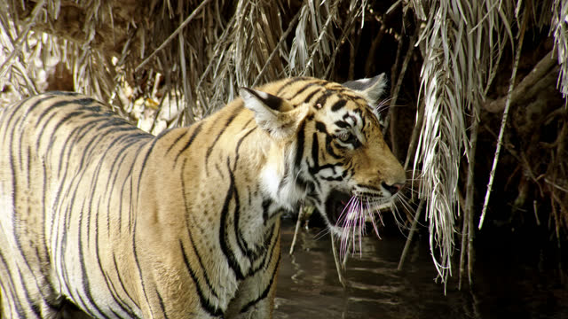 tiger looks alert and roaring in water pool - medium shot - 4k resolution stock videos & royalty-free footage