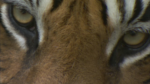 a tiger looks around and blinks. - tiger stock videos & royalty-free footage