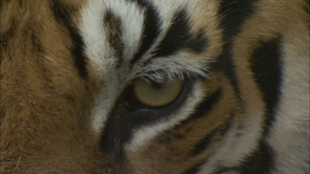a tiger looks around and blinks. - animal head stock videos & royalty-free footage
